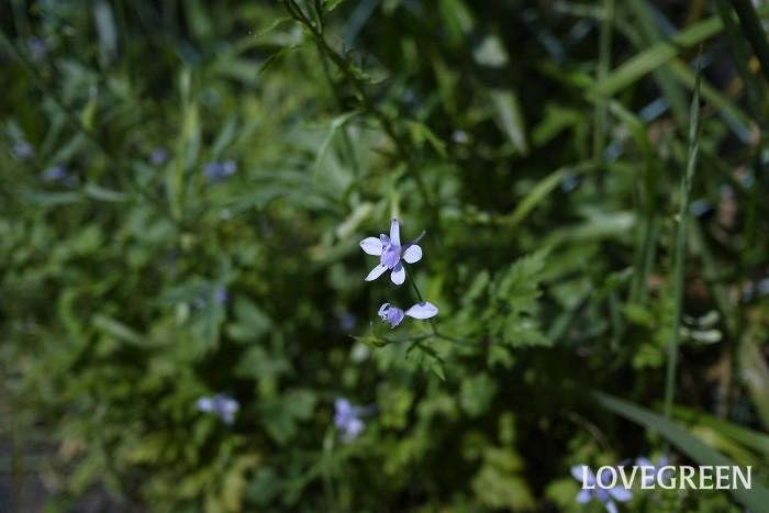 セリバヒエンソウ 花期:4月~5月 分類:一年草 増え方:種 セリバヒエンソウはキンポウゲ科の一年草です。淡い紫色の花とレースのような華奢な葉が印象的な草花です。雑草というにはもったいないくらい可愛らしい姿をしています。