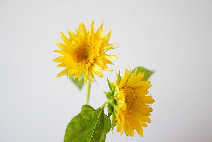 また、透き通るようなレモンイエローが特徴の「モネのひまわり」という品種もおすすめ。八重咲きで、繊細な佇まいが美しいお花です。モネは睡蓮で有名な画家ですが、ひまわりも描いていて、そこから名前がつけられた品種。大きすぎず、柔らかい印象のひまわりです。