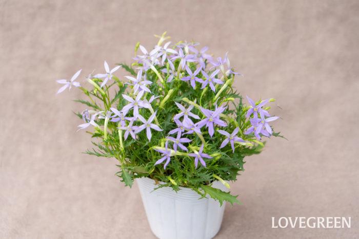 イソトマは5月~10月頃、紫、青、白、ピンクなどの星型の花を咲かせます。爽やかな花とギザギザのある小さな葉が涼し気なイメージの植物です。本来は多年草ですが、日本では寒さで枯れてしまうことが多いので一年草として扱われています。  イソトマの茎を切ると白い液が出ます。肌が弱い方は荒れたりかぶれることがあるので触れてしまったらすぐに洗うようにしましょう。切り戻しを行うときには手袋をすると安心です。