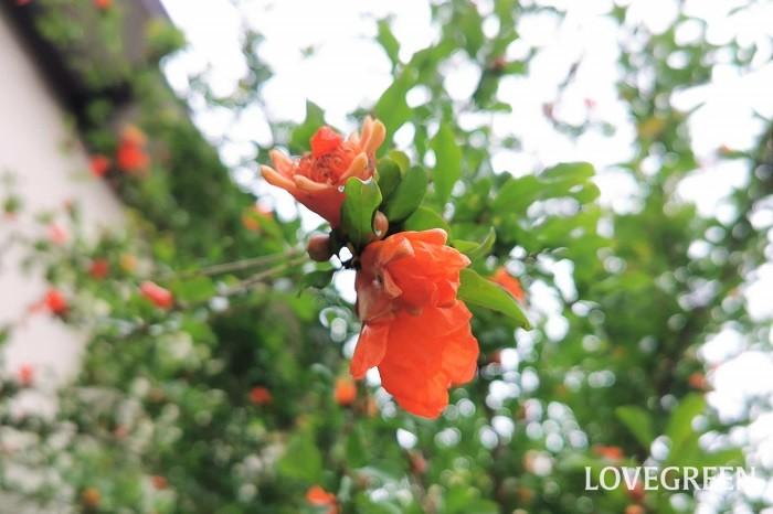ザクロ(柘榴)の花の季節