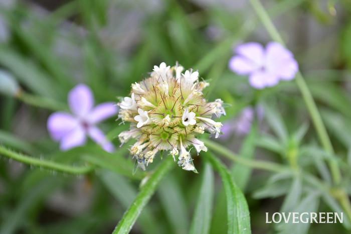 花もかわいいのですが、この花の印象的なことと言えばユニークな種。ご覧のように花の見頃が終わると、少しずつ花びらが落ちて種が顔を覗かせます。