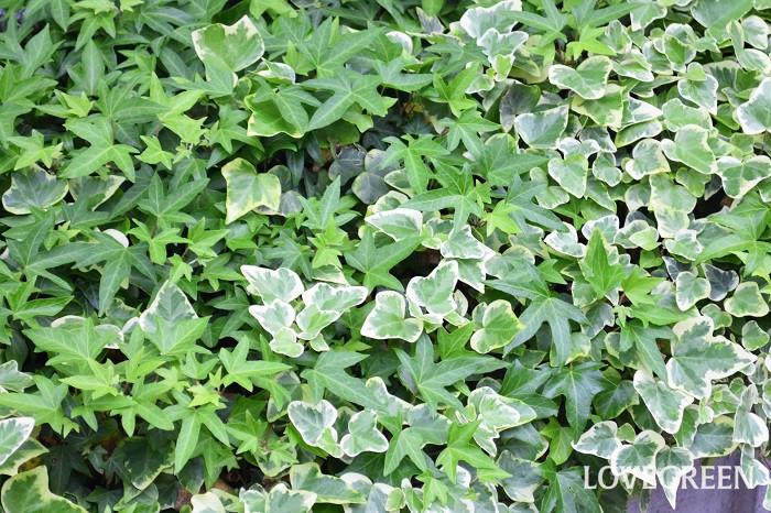 アイビーは別名ヘデラの名前でも流通しているつる性植物。品種がとても豊富で単品だけでなく、寄せ植えのグリーンとしても使われます。アイビーは性質が非常に強健で、屋外で難なく越冬することができます。そのためグランドカバープランツとして使用されることもあります。葉の下から気根を出して生長するタイプのつる性植物です。半永久的に取り去る必要のない場所以外は、壁に直接這わせるのはおすすめできません。一度植え付けた後に抜くのも相当力が必要です。地植えにする際は、植える場所をよく考えてからにしましょう。