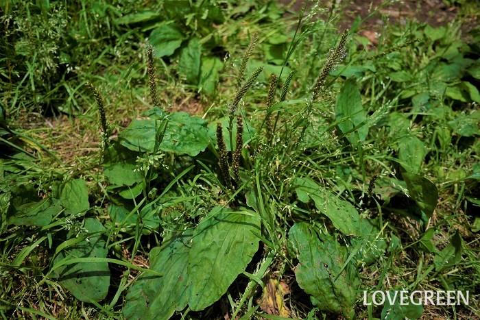 オオバコ 花期:5月~9月 分類:多年草 増え方:種 オオバコはオオバコ科の多年草です。踏みつけても枯れないほど丈夫なため、厄介な雑草とされることも多い植物です。薬草としても利用されています。