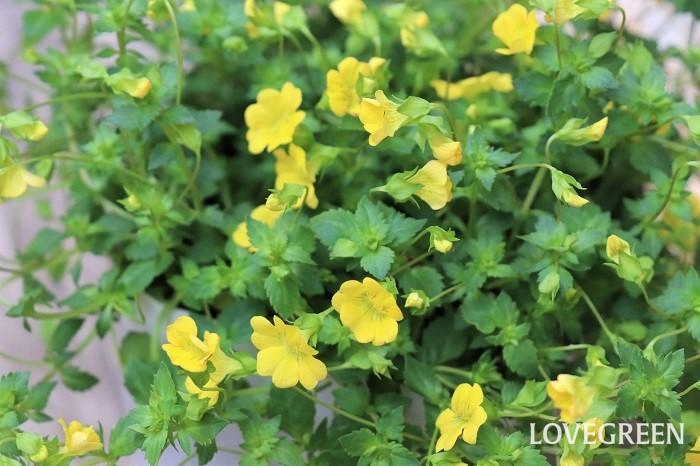 メカルドニアは5月~11月頃に、黄色い小さな花をたくさん咲かせます。匍匐性で草丈は低く、下へ垂れ下がる性質があるのでハンギングバスケットなどで高い場所に飾ると美しさが引き立ちます。寒さに弱いので一年草扱いされることが多いですが、暖地では霜の当たらない軒下などで越冬できます。