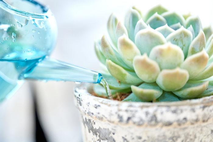 多肉植物専用「ベラボン・サキュレント」の水やりのポイント