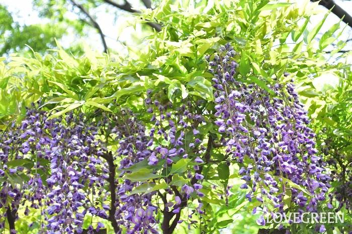 フジは落葉つる性植物です。春になると薄紫や白の花を咲かせます。フジには大きく分けて2種類あり、ノダフジ(野田藤)はつるが右巻き、ヤマフジ(山藤)は左巻きという特徴があります。