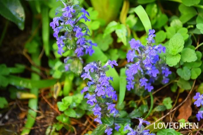 アジュガの美しい葉色を保つには、強い日差しよりも半日陰などのやわらかい光で育てることが好ましいです。丈夫で育てやすく、おしゃれな葉色や可愛い花が楽しめるアジュガは、園芸初心者にもおすすめの名脇役プランツです。