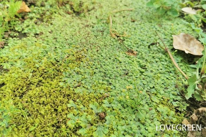 ゼニゴケ 分類:コケ類 ゼニゴケはゼニゴケ科の植物でコケの仲間です。ゼニゴケの生える場所は日当たりが悪く酸性土壌が多いとされています。