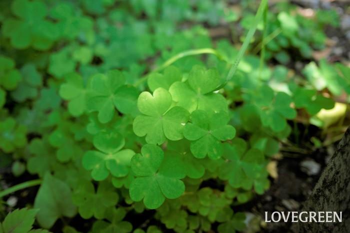雑草とは、人為的に植えていないのに勝手に繁茂している植物の総称です。雑草という植物の分類があるわけではなく、私たちが便宜上使用している呼び名です。  雑草と言っても花や草姿の可愛らしい植物もいっぱい。抜いて捨てるか、育てて愛でるかは自分次第です。 雑草に詳しくなるために、まずは雑草の種類を知りましょう。