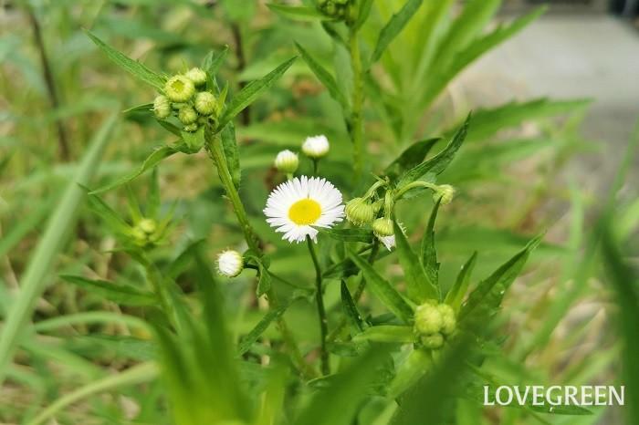 ヒメジョオン 花期:5月~7月 分類:多年草 増え方:種 ヒメジョオンはキク科の多年草です。強健で痩せ地でも育つため貧乏草の別名もあります。ヒメジョオンを摘んでも貧乏にはなりません。