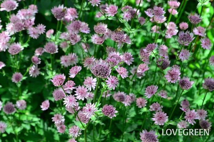 アストランティアは5月~7月頃、星のような形をした花を咲かせます。ごく小さな花が半球状に集まって咲く姿がとても繊細です。花びらに見える部分は「総苞」で、その中心に小さな小花が密集しています。素朴で野趣あふれる草姿がナチュラルな雰囲気です。  アストランティアは冷涼な気候で湿り気のある場所を好みます。夏の強い日差しと高温多湿が苦手なため、日本では夏越しが難しい草花ですが、寒冷地ではこぼれ種で発芽することもあります。風通しの良い半日陰で育てましょう。冬は地上部を枯らして越冬します。