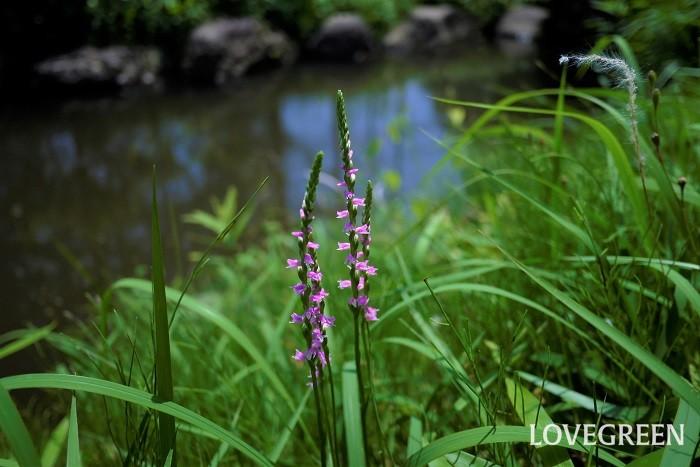 ネジバナ 花期:5月~7月 分類:多年草 増え方:種 ネジバナは日本に自生するラン科の植物です。らせん状に咲く花はよく見るとランの花の形をしています。