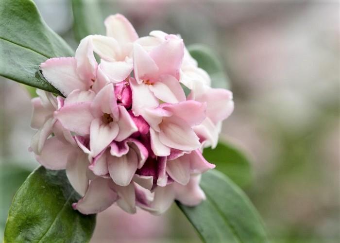 ジンチョウゲは、春先に外側が桃色で内側が白色の小さな小花が手まりのように集まって咲く常緑低木。花びらに見える部分はじつはガクです。花には強い芳香があります。夏の強い直射日光を嫌うので、西日が当たらない半日陰が最適。移植を嫌います。樹高は1m~1.5mほどで、枝が良く分岐するので特に剪定をしなくても丸くこんもりとした樹形を保ちます。
