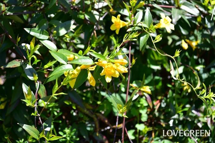カロライナジャスミンは、細いつるで絡みつきながら5~6mくらい伸びる常緑のつる性植物です。4月~6月に株一面に黄色い花が開花します。とてもよく伸びるので、フェンスやトレリスに這わせると見栄えがします。