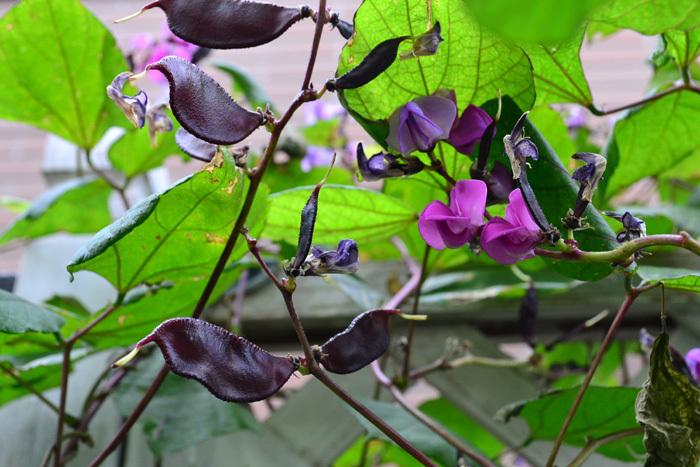 ドリチョス・ラブラブは藤豆の仲間でマメ科のつる性一年草。品種名はルビームーンとして流通しています。夏にピンクの花が咲いた後、目を引く濃い紫色のサヤができます。地植えにすると5m以上伸びるため、夏のグリーンカーテンとして利用できます。