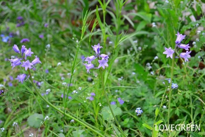 シラーは、秋に植えて春に花を咲かせる球根植物。ベル型の小花を咲かせるタイプや、小花が集まって放射状に咲くタイプなど、咲き方は種類によって違います。花色もブルー以外に、青紫、紫、ピンク、白など様々あります。  シラーは日向から半日陰を好みます。花を咲かせた後、夏になると自然に葉が黄色くなって地上部が無くなります。シラーはとても丈夫で、球根を植えたら数年植えっぱなしで楽しめるものが多いです。