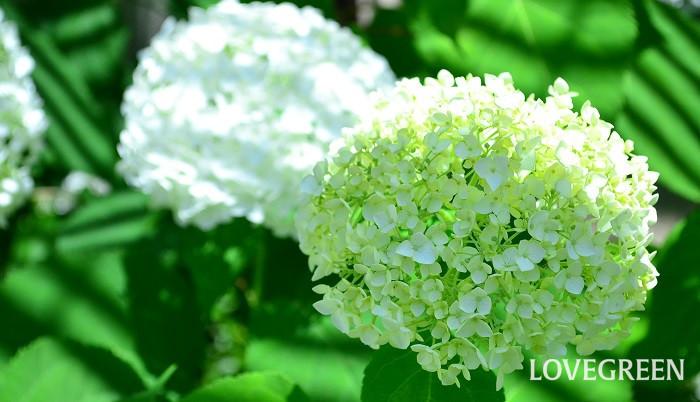 アナベルは、アジサイの仲間の耐寒性落葉低木です。寒さ、暑さに強く育て方も容易で、初夏に20~30cmの大きな花が咲きます。花の色は最初はグリーン、咲き進むと白になる色の変化も素敵でとても人気があります。日当たりの良い場所から半日陰まで栽培可能です。