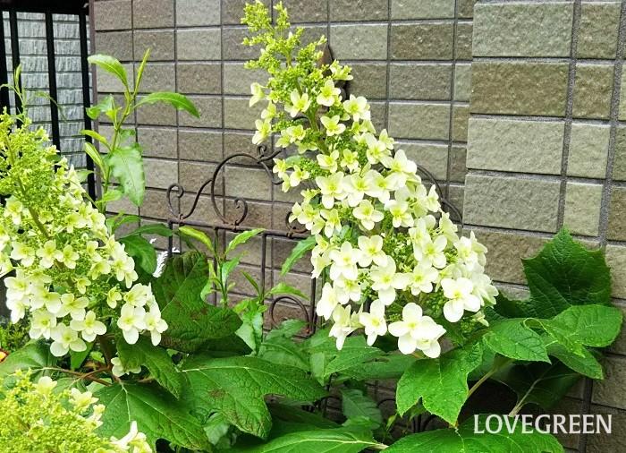 カシワバアジサイは、初夏に大きな円錐形の花穂を伸ばし、長期間にわたって花を咲かせ続けます。晩秋にはカシワの葉に似た大きな葉が美しく紅葉し、赤紫色に色づきます。日なたでも半日陰でも育ちます。