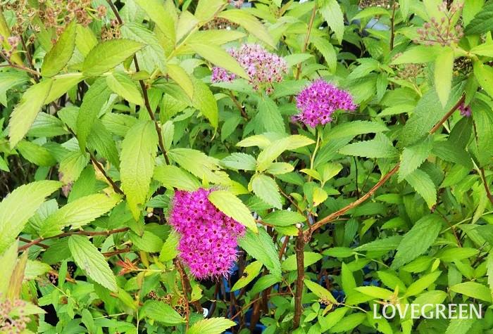 シモツケは、初夏に赤、ピンク、白色などの小さな花を枝先にたくさんつけます。生長しても1m前後なので管理しやすい樹木です。日当たりの良い場所を好みますが、半日陰や木陰になるような所でも育ちます。