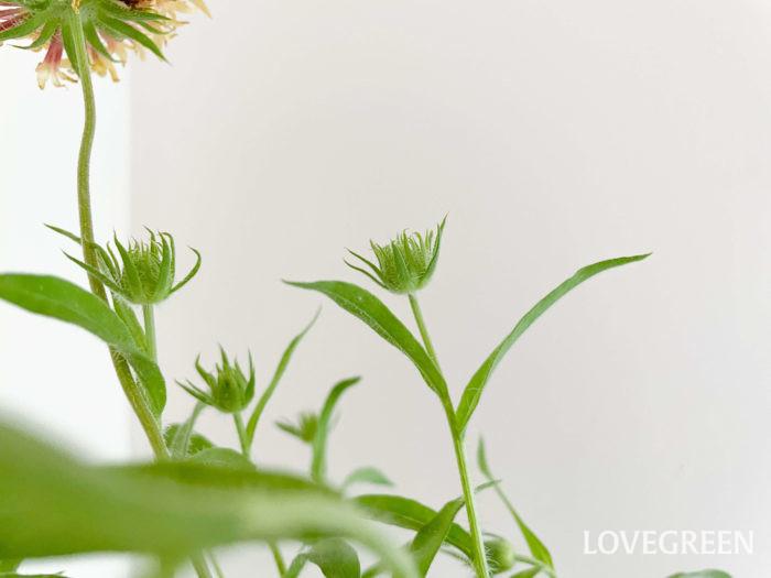 分枝性に優れているので1鉢でもボリュームがあり、とっても華やか。次々に蕾をつけて開花します。