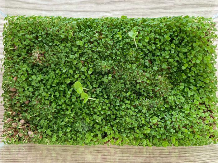 1週間後。あっという間に水槽の中が一面の緑に。今日は土が乾いていたので、タネをまいた日から初めて水やりをしました。