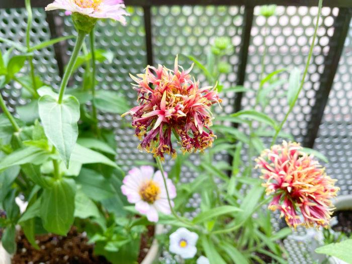 こまめに花がらを摘むと、長く咲いてくれますよ。  丈夫で、あまり手をかけなくても元気に咲いてくれるガイラルディア。夏の花壇に植えてみてはいかがでしょうか。