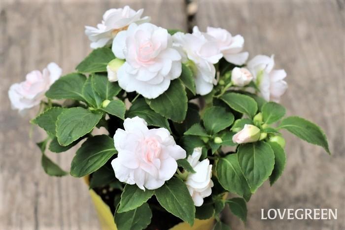 インパチェンスの花期は5月~10月頃。初夏から秋まで次々と華やかに花を咲かせるため、寄せ植えはもちろん、ハンギングバスケットや鉢植え、花壇植えに用いられます。  インパチェンスは半日陰で美しく花が咲き、夏のシェードガーデンにぴったりです。暑い国が原産地なので、高温多湿にも強い性質です。真夏の強すぎる日差しは、葉焼けをおこす場合があります。本来は多年草ですが、寒さに弱く一年草扱いされていることも多い植物です。室内の明るい窓辺に取り込めば翌年も楽しめます。