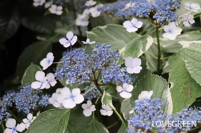 ガクアジサイの花は、じつは花のように見える部分はガクが変化した装飾花とよばれるもので、実際の花は装飾花が額縁のように咲く真ん中に集まって小さく咲いています。丈夫で育てやすく、日なたでも半日陰でも育ちます。