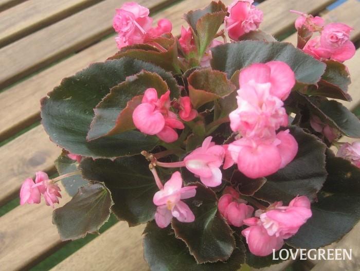 ベゴニアは4月~10月頃、小さな可愛い花を次々と咲かせます。直接雨が当たらない風通しの良い日なた~半日陰を好み、真夏の直射日光は苦手です。寒さに弱く、日本の気候では一年草として扱われていますが、寒くなる前に室内の明るい場所に移動させると翌年も楽しめます。挿し木で増やすことができます。