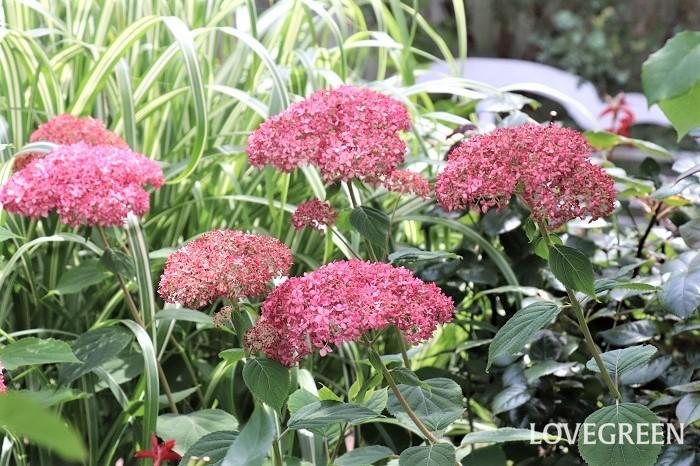 ピンク色の花が咲くアナベルもあります。アナベルは鉢植えの他、切り花でも出回っていて、ドライフラワーとしても使われています。