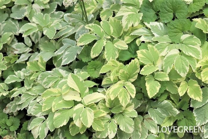 エゴポディウム・バリエガータは、明るいグリーンにクリーム色の斑が入った爽やかなカラーリーフ。半日陰~日陰を好むため、シェードガーデンの寄せ植えやハンギングバスケット、グランドカバーや樹木の下草に使う植物として人気があります。暗いイメージになりがちな日陰に植えると、その場がパッと明るく変わります。  エゴポディウム・バリエガータは、半日陰~日陰の湿り気のある場所で育てると葉が大きくなり、地下茎でどんどん広がります。一方、鉢で育てるとそれほど葉が大きくならずに密に茂り、コンパクトに育てることができます。