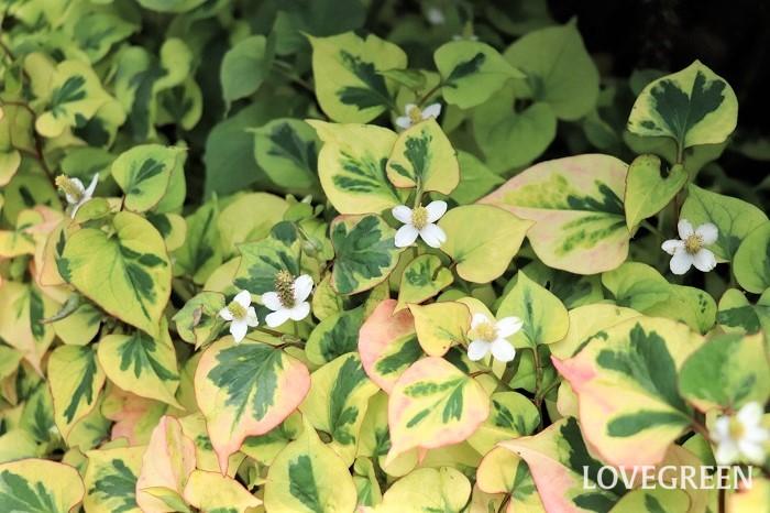 写真のように斑入りの品種も流通しています。ピンク・黄・クリーム色などカラフルな斑が入るので、斑入りのドクダミを植えると日陰の暗い雰囲気の場所がぱっと明るくなります。