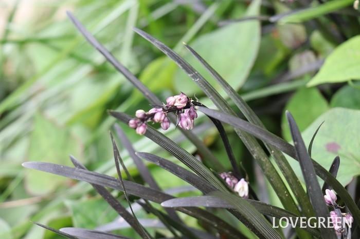 コクリュウは、つやのある黒くて細い葉が特徴的な常緑の多年草。インパクトのある上品な葉が、寄せ植えやハンギングバスケットのアクセントにも重宝されます。暑さ寒さに強く、日陰にも適応するのでグランドカバーとしても使われます。初夏~夏に花を咲かせ、秋に黒い実がなります。和風のイメージだけでなく、洋風のワンポイントとしても好まれます。
