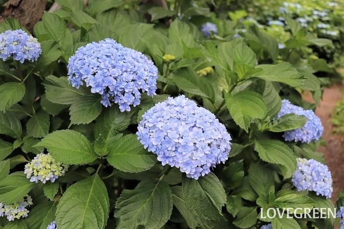 アジサイは梅雨の季節の代表的な花。多種多様な園芸品種が出回り、いずれも日なた、半日陰、明るい日陰で育ちます。とても丈夫で旺盛に生長しますが、強い西日は葉焼けをおこすので注意しましょう。
