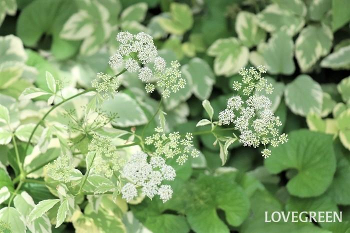 エゴポディウム・バリエガータは、6月頃にホワイトレースフラワーに似た白い花を咲かせます。