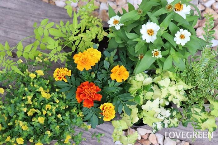 それでは、7月の寄せ植えにおすすめの草花を紹介していきます。暑さに強いものや、爽やかで涼し気な植物を集めました。