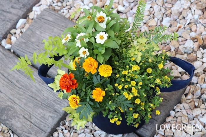 7月におすすめする、暑さに強い植物で作った寄せ植えの管理ポイントをお話しします。  置く場所 寄せ植えは、屋外の風通しの良い日なた~半日陰に置きます。暑さに強い植物でも真夏の直射日光が当たり続けると色が褪せたりすることがあるので、真夏は半日陰くらいの方が状態良く育ちます。また、梅雨が明けないうちは長雨に当たらない軒下やベランダなど、屋根のある場所で管理すると、蒸れなどから発生する病気を予防できます。  水やり・肥料 株元の土の乾き具合を確認して水切れしないように水やりします。雨に当たった日は、水やりはお休みしましょう。真夏の水やりは、高温多湿を避けるため、早朝や夕方以降の涼しい時間帯に行います。土の乾きが早い場合は、朝晩水やりしましょう。  ニチニチソウやジニアなど、花期が長いものは肥料が必要です。植え付けるときに肥料入りの培養土を使った場合は、1カ月後から液肥や固形肥料を与えましょう。  花がら取り 咲き終わった花(花がら)や古い葉は、見た目も悪く病害虫の発生の原因となるので早めに取り除きます。花がらを取ることで、次の花が咲きやすくなります。  花後の管理 茂りすぎたら全体のバランスを見て切り戻すときれいな寄せ植えがキープできます。  ニチニチソウやジニアなどの一年草は寒くなったら抜き取り、寒さに強い植物に植え替えましょう。イソトマ、アゲラタム、メカルドニアなどは本来多年草なので室内に取り込んで管理すると越冬できます。  まとめ 梅雨明け前後の7月は、雨がやんだと思ったら急に真夏のような暑い日になったりと、人も体調管理が難しい季節。そんな中、暑さに強い植物がみずみずしくイキイキと生長している姿を見ると、思わずこちらも頑張らねばと思ってしまいます。自分はもちろん、家族やご近所さん、道行く人までも明るい気持ちにできるような寄せ植えが飾ってあったらステキですね。ぜひ、7月も寄せ植えを作ってお楽しみください。