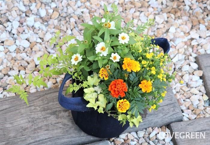 7月は梅雨明けまでは雨の日も多く、雨の合間には急にギラギラした強い日が差したり、梅雨明けするといよいよ夏本番になります。そんな7月には、雨がやんだ後の厳しい暑さや日差しに負けないジニアやマリーゴールドなどの丈夫な花を中心に、オレンジやイエローのビタミンカラーを意識した寄せ植えはいかがですか。  鉢はルーツポーチを使いました。ルーツポーチは、リサイクルペットボトルと天然素材を使った不織布で作られています。取っ手が付いていて、軽くて持ち運びが簡単です。地球に優しいサスティナブルな素材という点もおすすめです。  寄せ植えに使った草花  ジニア マリーゴールド メカルドニア・ガーデンフレックル ロニセラ・レモンビューティー ジャスミン ヘデラ・かぐや