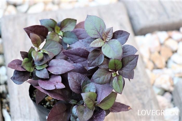 アルテルナンテラ・リトルロマンス  アルテルナンテラは葉色が赤、ピンク、オレンジ、黄、紫、銅葉色など美しく、寄せ植えやハンギングバスケットに使うカラーリーフプランツとして人気があります。葉色だけでなく、葉の大きさや形も様々あり、品種によって横に広がるほふく性タイプ、こんもりと茂るタイプ、草丈が100cmになるものもあります。アルテルナンテラの中には、アカバセンニチコウやセンニチコボウなどのように花を楽しむタイプもあります。今回は、渋めの落ち着いた色をした、あまり背が高くならないタイプのアルテルナンテラを紹介します。  アルテルナンテラ・リトルロマンスは、季節によって葉色が深い緑色、新芽の緑と紫色、深い紫色に変化する姿が楽しめます。