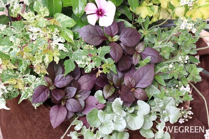 アルテルナンテラ・リトルロマンスは、植え付けて数日すると中心部から緑色の小さな新芽が出てきました。これからの季節は、新芽の緑と紫色が美しい季節になりますね。