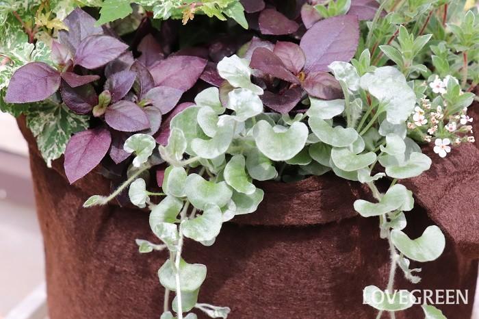 ディコンドラ・シルバーフォールは、葉の表面が細かい毛に覆われてキラキラと輝きとても美しく、寄せ植えに使うと上品で繊細な雰囲気を演出してくれます。