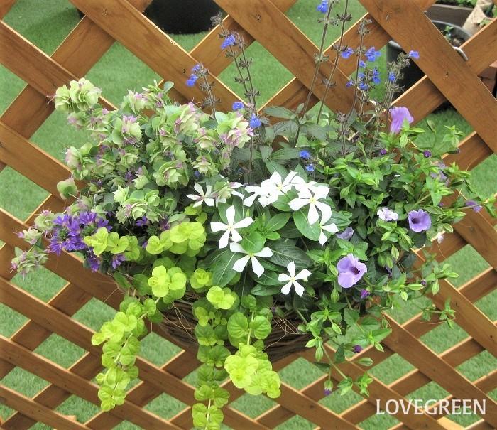暑いときは、ブルー×ホワイト×グリーン系の爽やかな色合いの寄せ植えを見ると涼しい気持ちになります。写真は壁掛けタイプの器(ハンギングバスケット)に寄せ植えしています。壁に掛けて飾ると目線の高い位置で植物を楽しめます。土が乾きやすくなって蒸れにくくなり、地面から離すことで害虫も少なく、病気も発生しにくくなるなどたくさんのメリットがあります。  寄せ植えに使った草花  ニチニチソウ トレニア サルビア・コスミックブルー ブルーファンフラワー'サンク・エール' オレガノ・ケントビューティー リシマキア・オーレア