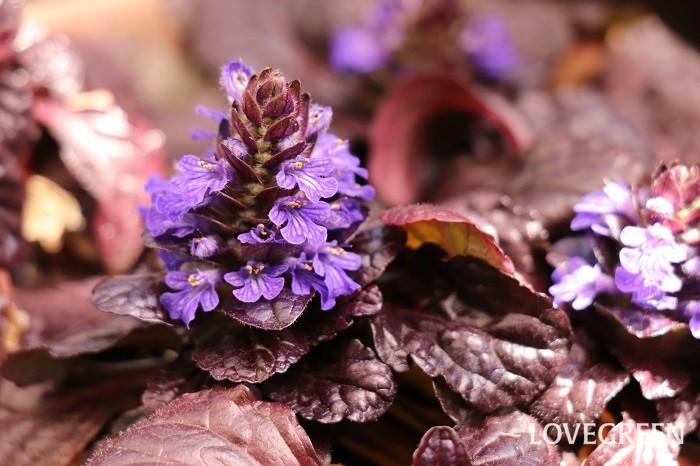 アジュガは4月~5月頃、紫や青、ピンク色の花を咲かせるカラーリーフ。地面を這うように生長する匍匐性植物です。寒さに強く、耐陰性もあり、ランナーを伸ばしてあまり日が当たらない場所でもよく育ちます。  アジュガの葉色は黒っぽいチョコレート色、紫がかった銅葉色、明るいグリーン、白やピンクの斑入り、複色など様々あります。常緑性なので花が咲かない時期もバラエティー豊かな葉色を楽しめます。アジュガの美しい葉色を保つには、強い日差しよりも半日陰や明るい日陰のやわらかい光で育てることが好ましいです。暗い日陰でも育てられますが、花つきは悪くなります。