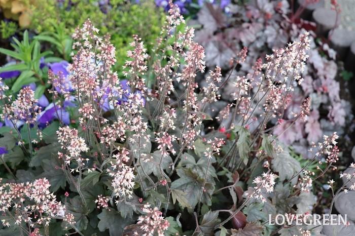 ヒューケラの葉はカエデの葉に少し似ていますが、とんがりがなく、丸みを帯びた形をしています。葉を横に広げてこんもりと茂ります。葉が平たくて面積が大きいので、色の美しさが目立ちます。葉色は、グリーン、ライム、紫、オレンジ、茶、シルバー、黒、斑入りなど非常に多様です。ヒューケラの色違いを組み合わせるだけでも、葉色のグラデーションが楽しめます。5月~7月頃に茎を伸ばして小さな花を咲かせます。花色は品種によって違い、白、ピンク、赤などがあります。  ヒューケラは耐寒性が強く、耐暑性があり、乾燥にも耐えますが、真夏の強い直射日光で葉焼けしたり、どちらかというと高温多湿に弱い性質があります。夏は半日陰か日陰になる場所で管理すると葉色が美しくしっとりと育ちます。耐陰性もあるので、あまり日の当たらないシェードーガーデンの寄せ植えに使うカラーリーフにぴったりです。