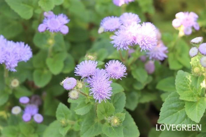 アゲラタムは5月~10月頃、青、ピンク、白、紫などのふんわりとした可憐な花を咲かせます。本来は多年草ですが、寒さに弱く日本では冬越できないため1年草として扱われています。 花期が長く、花つきも良い特長があります。  アゲラタムには背の低いタイプと高いタイプがあり、高性種は切り花によく用いられ、小さい寄せ植えには矮性種が使いやすいです。