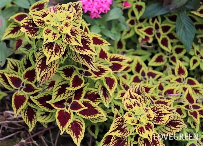 コリウスは、日なた~半日陰を好みます。よく日光に当てると葉がきれいな色になりますが、真夏の強い日差しでは葉色があせてしまうことがあります。真夏は半日陰くらいが丁度よいでしょう。本来は多年草ですが、寒さに弱いので日本では一年草として扱われています。  育ってきたら頻繁に切り戻すことできれいな株姿が保てます。切り戻した葉茎は生花として部屋に飾ったり、挿し木に使って増やすのもおすすめです。
