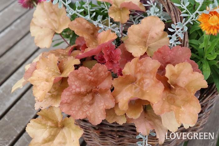 葉色は、グリーン、ライム、紫、オレンジ、茶、シルバー、黒、斑入りなど非常に多様です。ヒューケラの色違いを組み合わせるだけでも、葉色のグラデーションが美しい寄せ植えやリースができます。