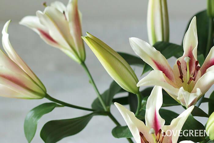 購入する際は、蕾の多さや、花弁の先にシワが入っていないかを確認しましょう。新鮮は花ほど、ハリや厚みがあります。