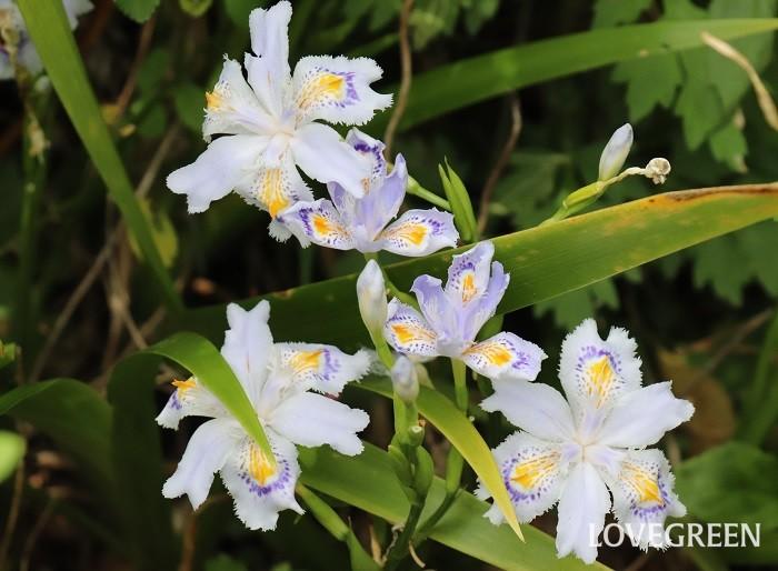 シャガは、春に白や薄紫色の花を咲かせる常緑の多年草。雑木林の木陰など、明るい日陰の湿り気のある場所に多く自生していて日本各地でも見ることができます。日陰の下草やグランドカバーにも適していますが、暗い日陰では花つきが悪くなります。葉はやや厚く光沢があり、草丈は30~70㎝ほどです。