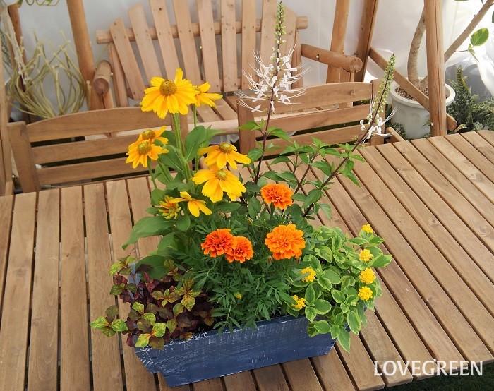これはアルテルナンテラ・マーブルクイーンを使った寄せ植えです。マーブルクイーンは葉にイエロー色が含まれるため、黄色やオレンジなどの花ともよく合います。夏バテしがちな季節は、ビタミンカラーの草花を育てて植物から元気をもらうのもおすすめです。ぜひ、アルテルナンテラを使って寄せ植えを作ってみてください。  寄せ植えに使った草花  ルドベキア・プレイリーサン フレンチマリーゴールド・ファイヤーボール ランタナ・七変化(斑入り) ネコノヒゲ アルテルナンテラ・マーブルクイーン